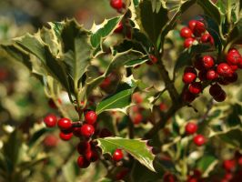 Holly 09 by botanystock