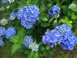 My beautiful blue Hydrangea by davincipoppalag