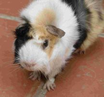 nobby the guinea pig by PromefeuZ