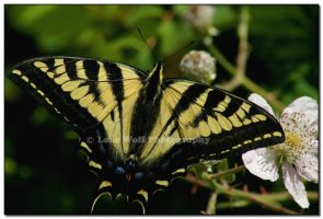 Anise Swallowtail  II by LoneWolfPhotography