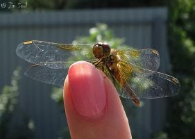 Dragonfly on my finger 02 by Nijik