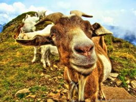 Inquisitive Goat by pingallery