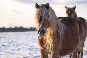haflinger by HorseLovely-Graphic