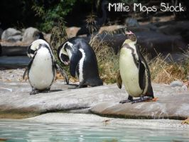 Penguins! by Millie-Mops-Stock