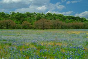 Blue bonnet fields by mjranum-stock