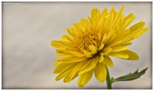 .: yellow :. (Chrysanthemum Indicum) by amygdalon