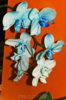 blue orchids by mange