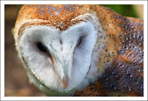 Barn Owl by NitzkaPhotography