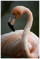 American Flamingo by Nate-Zeman