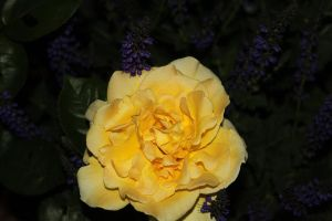 My Lovely Yellow Rose by Maeve09