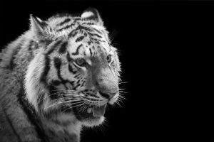 Tiger, Nuernberg III by FGW-Photography