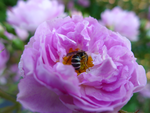 Pink Rose with Insect by emilymhanson