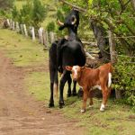 Cows on Easter Island 1 by wildplaces