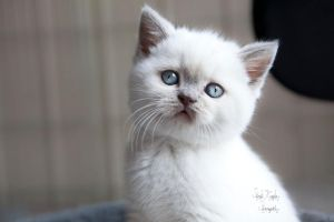 Lilac colourpoint brits kitten2 by hxcitdiestoday