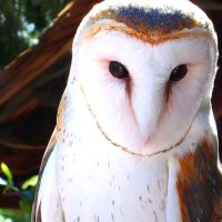 'Painted' Barn Owl by Sarenea