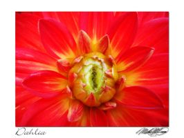 Bright Red Dahlia by DistantVisions
