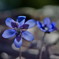Anemone hepatica by perost