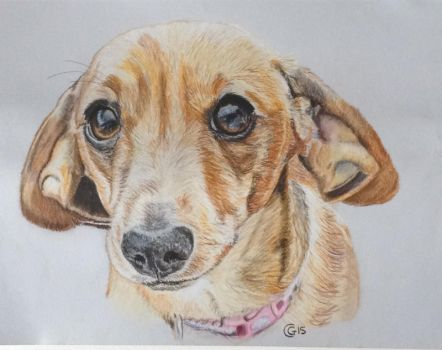 Millie the Dachshund by saddlers
