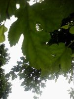 hanging leaves 1 by veykava
