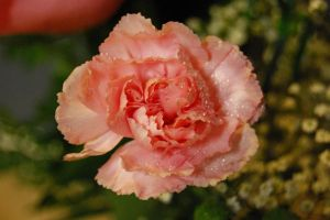 Pink Carnation 1 by Dori-Stock