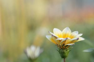 Bokeh Flower by troypiggo