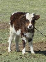 Baby Cow by PipDesign