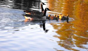 Canadian Geese V by Photos-By-Michelle