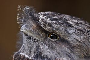 Frogmouth by robbobert