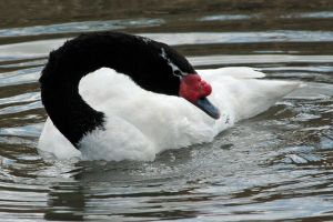 Black-necked Swan by Tinap
