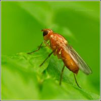 Very young fly ... by Viand