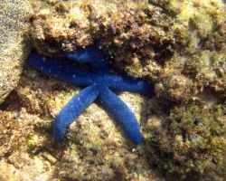 Blue Starfish 1 by Sweetlittlejenny