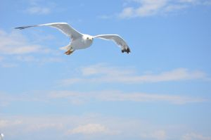 Seagull  Flight by AmmarkoV1