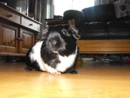 Lilly the guinea pig by Trea1969