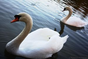 ~ Swan lake ~ by MaelstromPhotography