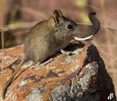 Elephant shrew by Dwarf4r