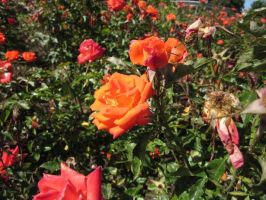 Orange Roses by Spinian
