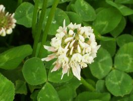 White Clover by jstan714