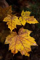Foliage LXII by rici66