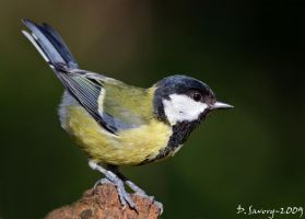 Great tit mkII by Slinky-2012