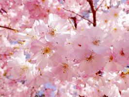 Cherry Blossoms by Klytia70