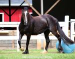 friesian x clydesdale cross mare 6 by venomxbaby