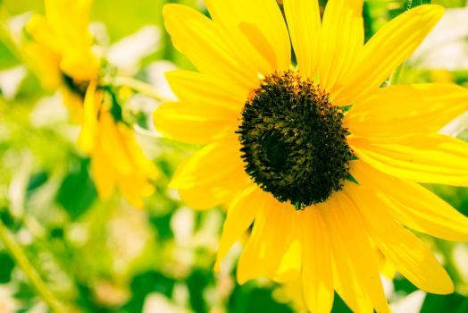 Sunflower-1-8 by anditosan