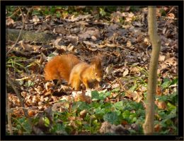 Red squirrel - 4 by J-Y-M