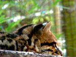 Ocelot by Cansounofargentina