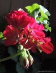 Budding Geranium-II by kayandjay100