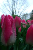 Another tulip with water droplets by pokemontrainerjay