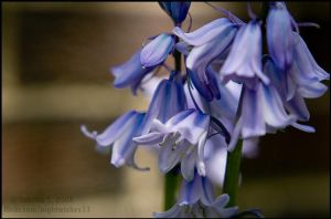 Bluebells by aheria