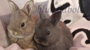 babybunnies 4 weeks old by bluediabolo