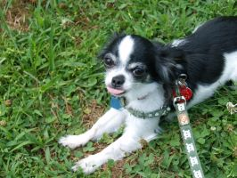 Ubu, The Chihuahua our Sweet Baby Girl by LilWolfStudios