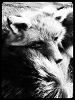 Taxidermy Soft Mounted Fox by WCC Taxidermy 3 by DerpMuffin12